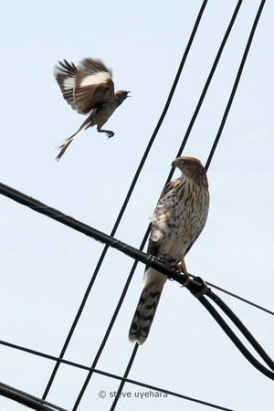 Mockingbird harasses a Cooper's hawk