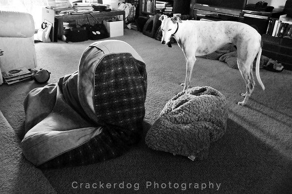 Katie surveys Sadie's handiwork after she played leap-frog with the dog beds.